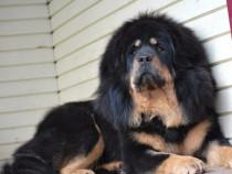 Mastiff de Tibet