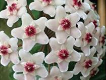 Hoya carnosa (floarea de ceara) , adenium trandafirul deser