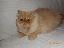 Pisicuta persana cu pedigree
