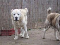 Ciobanesc de Asia Centrala-Mascul 3 ani cu pedigree Fci