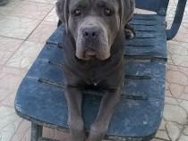Cane corso gri(albastru)!!