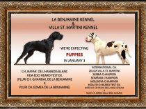 Dog German, Marele Danez , Great Dane