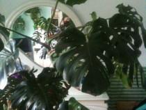 Planta ornamentala filodendron / monstera