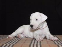 Dog Argentinian, albi, talie mare, rasa pura