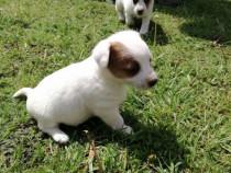 Jack russel/russell terrier!!