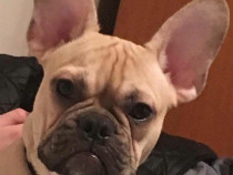 Bulldog francez montã