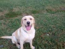 Labrador retriever pentru monta