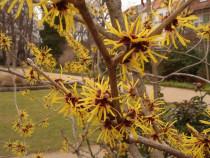 Arbust Nucul vrajitoarelor (Hamamelis virginiana)