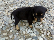 Pui rottweiler talie mare