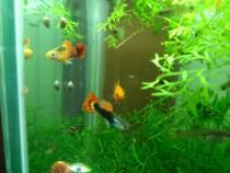 Pesti acvariu Guppy