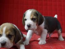 Pui Beagle din parinti cu pedigree!