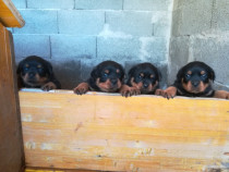 Femeluta Rottweiler cu pedigree