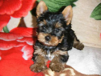 Yorkshire terrier, mini toy superbi.