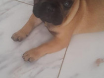 Bulldog francez pedigree tip A