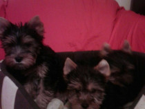 Yorkshire Terrier Talie Mica Toy