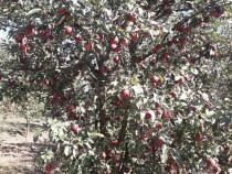 Tuica palinca horinca de mere