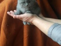 Pisici si motani de British Shorthair blue!!