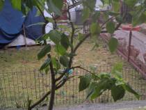 Trandafir Japonez, 1.5 m Pomi diferite Marimi am 7 Plante