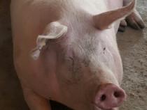 Porci de carne crescuti traditional