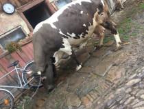 Vaca Metis