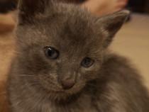 Albastru de rusia (pisica arhanghel, pisica înger)