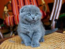 Pisici Scottish fold