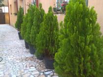 Tuia Aurea la Ghiveci, Tuiia Smaragd, Columnaris, Lamai,Aloe