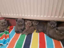 Pisicute British shorthair blue