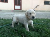 Pui Labrador Golden Retriever