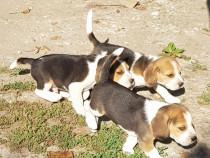 Catei Beagle tricolori