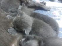 Puiuți pisici British