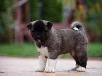 American Akita puppies cu pedigree