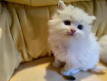 Pui pisica persana clasica albi