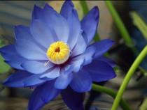 Seminte floare lotus