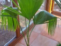 Palmier cu inaltime 1 m