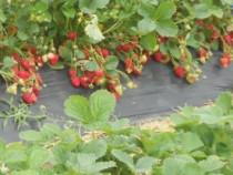 Stoloni capsuni albion, remontante si anuale diverse soiuri