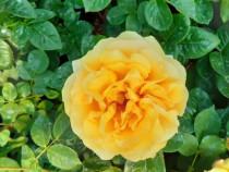 Trandafiri decorativi la ghiveci