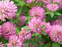Trifoi rosu (trifolium pratense) seminte certificate