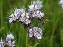 Facelia melifera (phacelia tanacetifolia) seminte