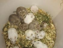Hamster, hamsteri siberieni pitici.