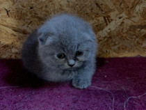 Pui scottish fold si british shorthair