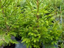 Molid verde la ghiveci 100-120 cm