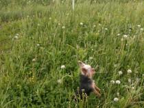 Yorkshire terrier toy pentru monta