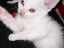 4 pisicuțe 2 albe complet si duoa cu pete de rasa