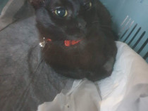 Aryna pisica neagra castrat