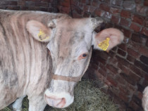 Vacă cu lapte varsta 8 ani