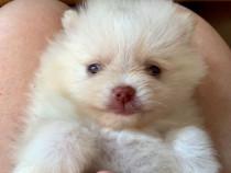 Micro Pomeranian alb