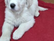 Golden retrivier alb
