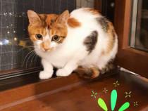 Pisica calico castrata