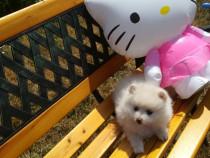 Fetite Pomeranian Boo Toy